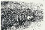 Plowing a corn field