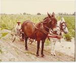 Rufus Laine and mule team