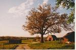 Three barns and an oak