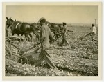 Plowing soybeans, Rose City