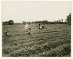 Strawberry pickers in McRae