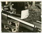 Women cleaning spinach at canning factory, Van Buren