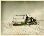 Binding rice on the Grand Prairie