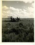 Cutting rice on Willman's farm near Lonoke