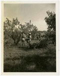 Men picking peaches in Summersweet orchard near Colt