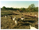 Goats by the hay rake
