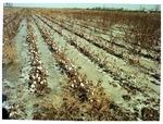 Frozen cotton field