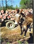 Kate the logging mule
